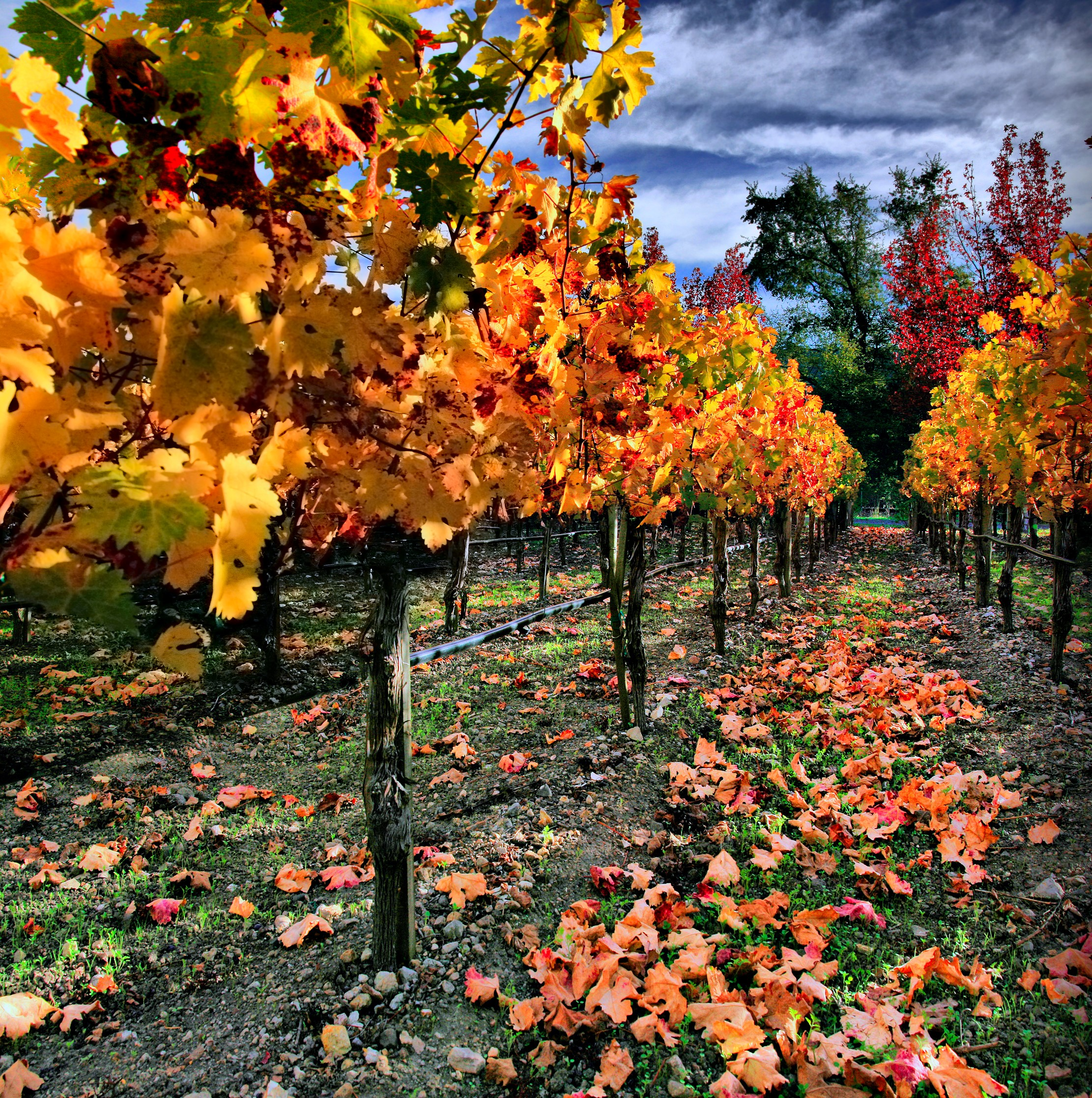 Vineyard in Fall 01